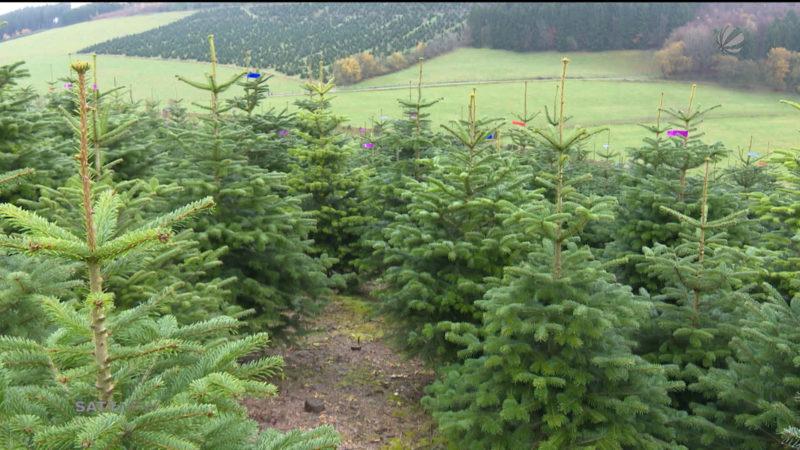 Start der Weihnachtsbaumsaison (Foto: SAT.1 NRW)