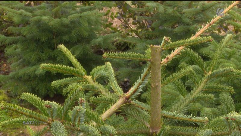 Unbekannte schneiden Weihnachtsbäumen die Spitze ab (Foto: SAT.1 NRW)
