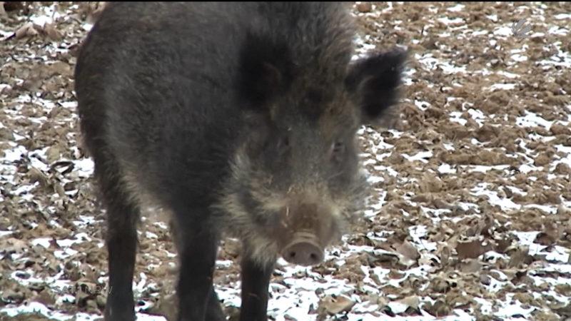 Großjagd auf Wildschweine (Foto: SAT.1 NRW)