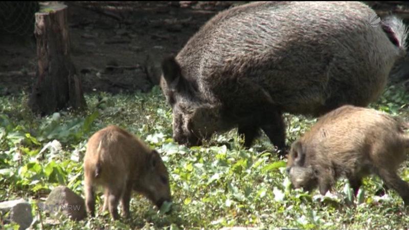 Bauernverband fordert: Tötung von 70% aller Wildschweine (Foto: SAT.1 NRW)