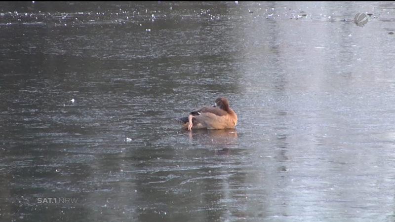 Gänse auf See festgefroren (Foto: SAT.1 NRW)
