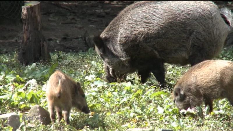 Jäger kassieren Prämie für erlegte Wildschweine (Foto: SAT.1 NRW)