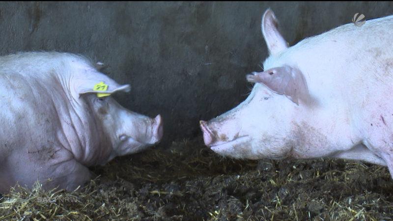 Mehr Transparenz bei Nutztierhaltung (Foto: SAT.1 NRW)