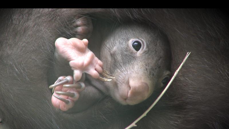 Wombat Baby (Foto: SAT.1 NRW)