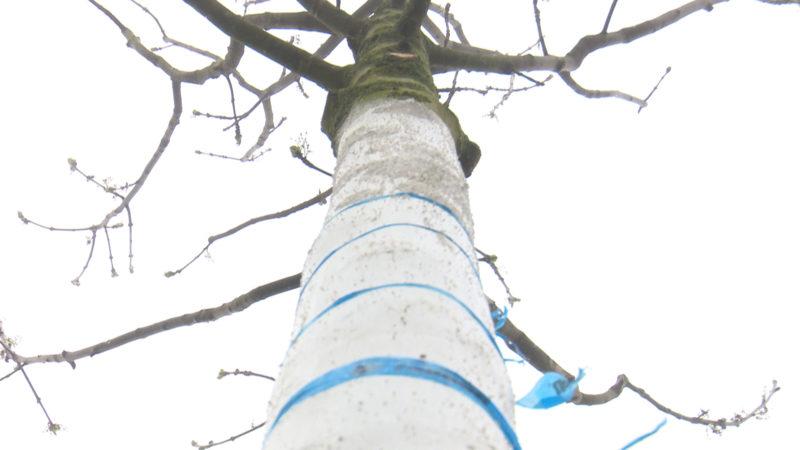 Ed Konzert: Bäume werden umgepflanzt (Foto: SAT.1 NRW)