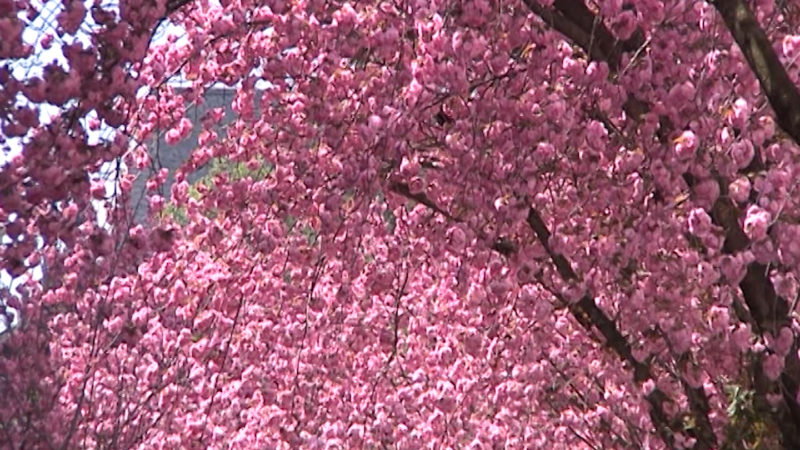 Bonner-Kirschblüten in Gefahr (Foto: SAT.1 NRW)