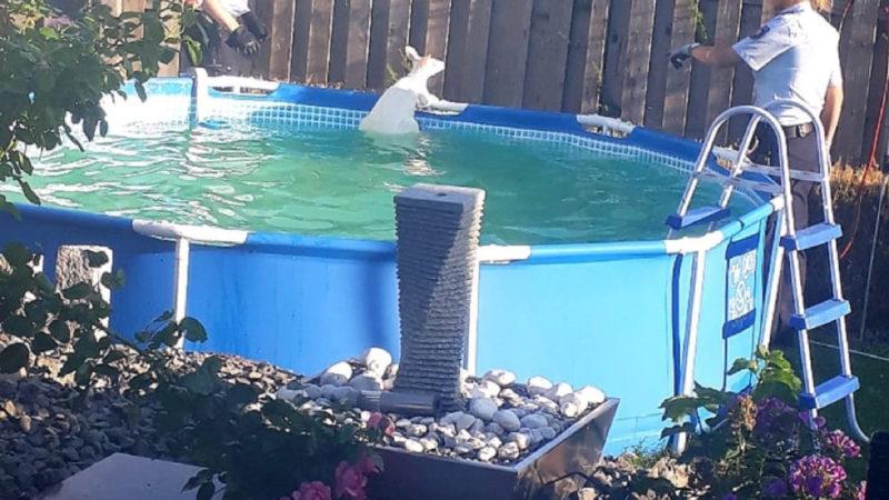 Ungebetener Badegast - Känguru im Pool (Foto: SAT.1 NRW)