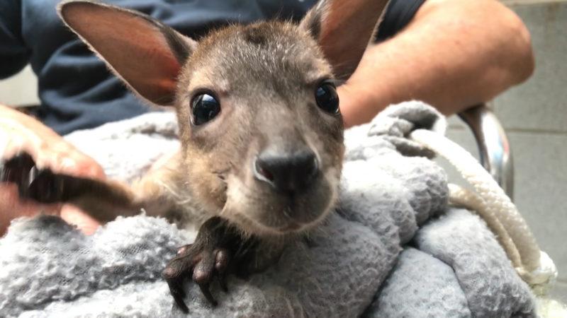 Känguru-Baby in Duisburg (Foto: SAT.1 NRW)
