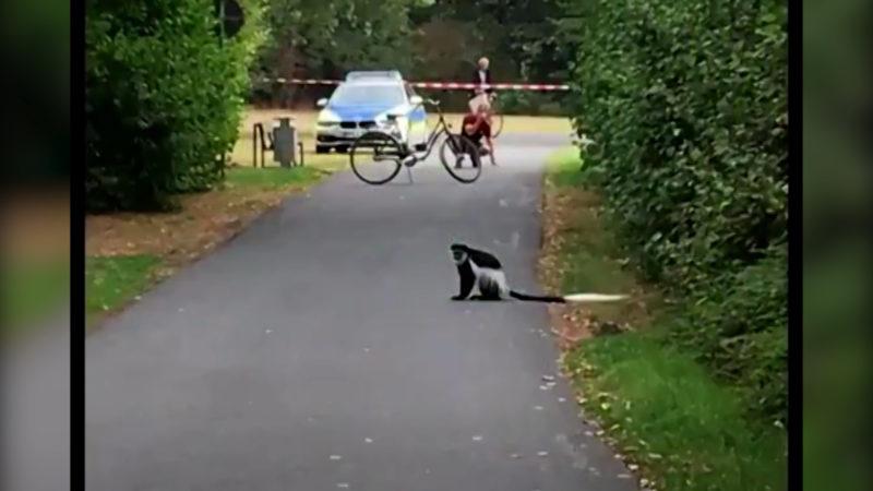 Affen brechen aus Zoo in Münster aus (Foto: SAT.1 NRW)