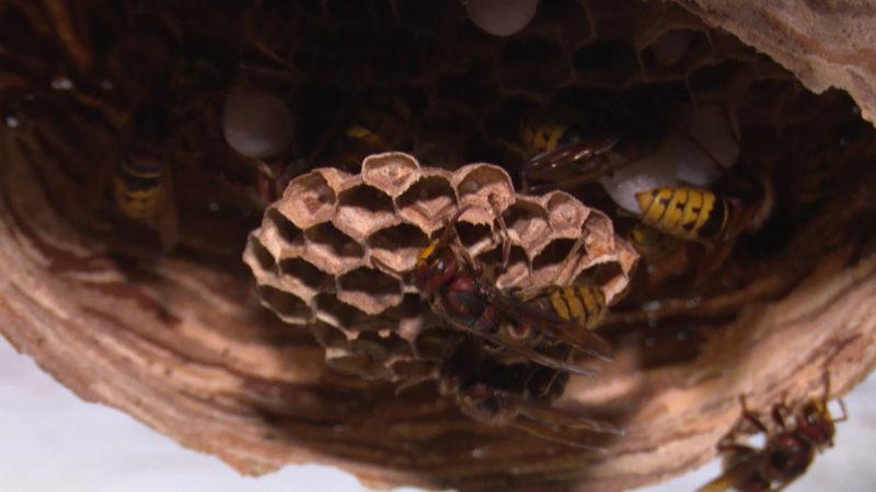 Hornissenplage - wie gefährlich sind die Insekten? (Foto: SAT.1 NRW)