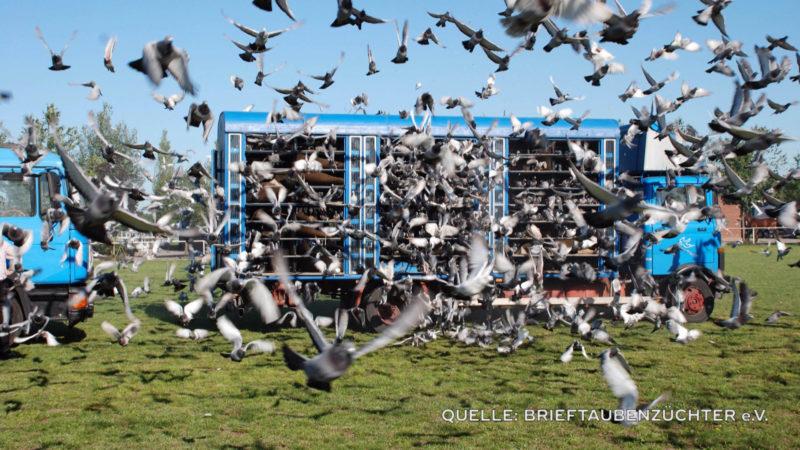 Über 500 Anzeigen - Tierschützer klagen wegen Taubenwettflügen (Foto: SAT.1 NRW)