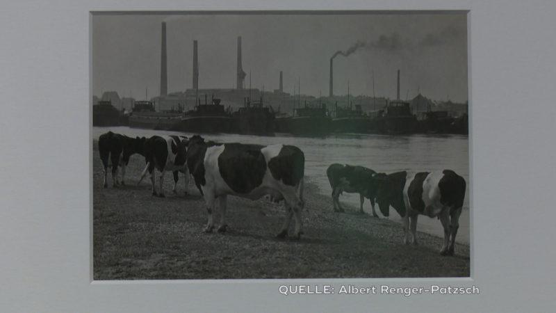 """""""Kühe an der Ruhrmündung, 1930"""" (Foto: SAT.1 NRW)"""