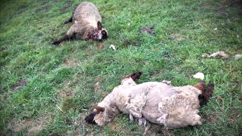 SCHAFE VOM WOLF GERISSEN? (Foto: SAT.1 NRW)