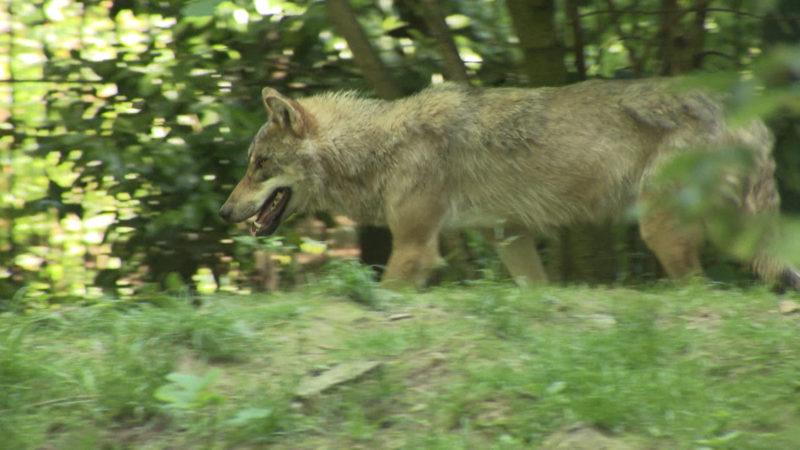 Erstes Wolfsgebiet in NRW (Foto: SAT.1 NRW)