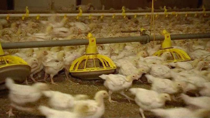 Geflügelbetriebe wegen Gift geschlossen (Foto: SAT.1 NRW)