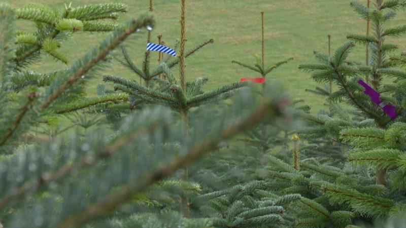 Weihnachtsbäume werden teurer (Foto: SAT.1 NRW)