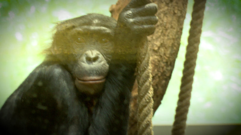 Bonobo-Affe Bili wird gemobbt (Foto: SAT.1 NRW)