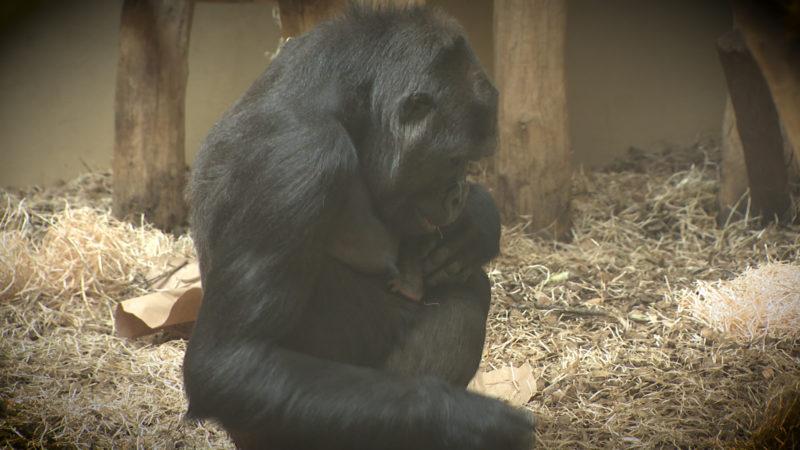Gorilla-Nachwuchs (Foto: SAT.1 NRW)