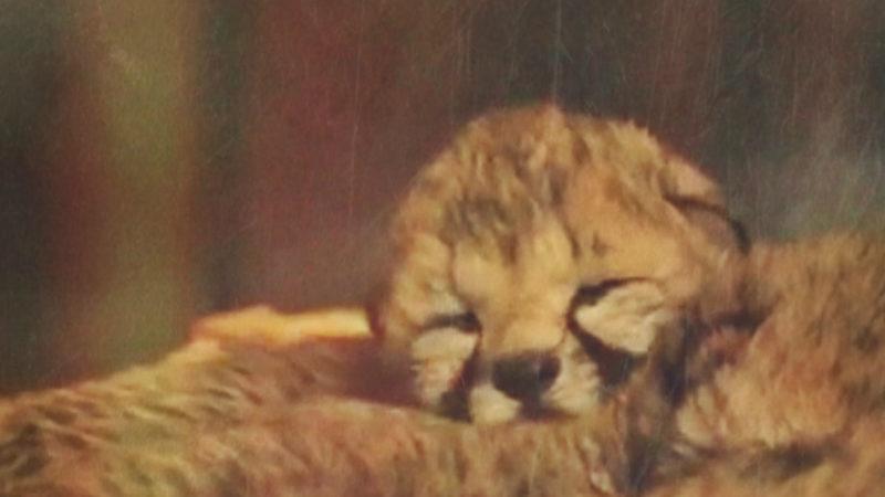 Gepardengeburt im Safaripark gefilmt (Foto: SAT.1 NRW)