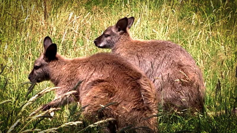 Drei Kängurus totgebissen (Foto: SAT.1 NRW)