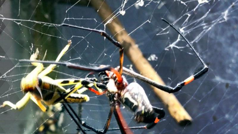 Spinnen melken für die Medizin (Foto: SAT.1 NRW)