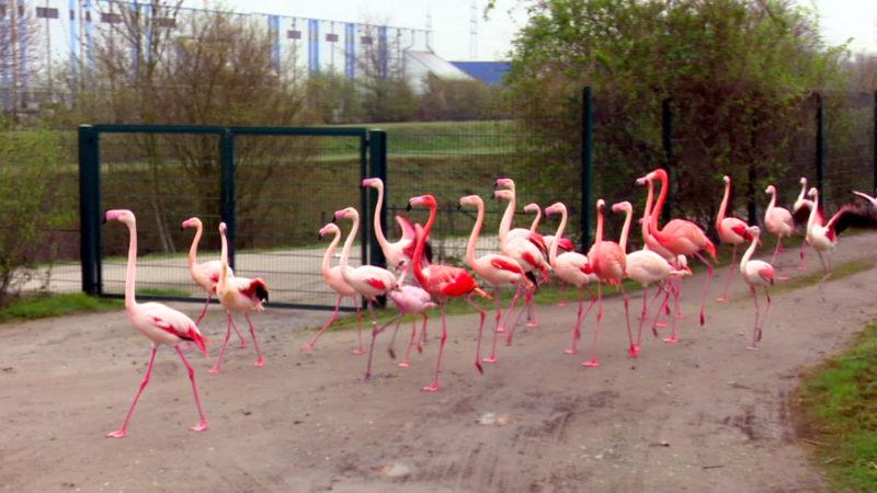 Flamingos ziehen um (Foto: SAT.1 NRW)