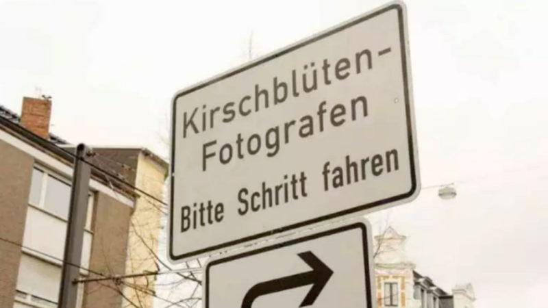 Kirschblüte begeistert Bonn (Foto: SAT.1 NRW)