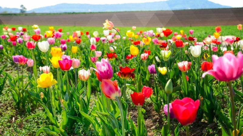 Tulpenpracht in Neuss (Foto: SAT.1 NRW)