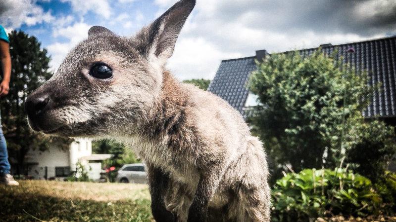 Neue Mami für Kängurubaby (Foto: SAT.1 NRW)