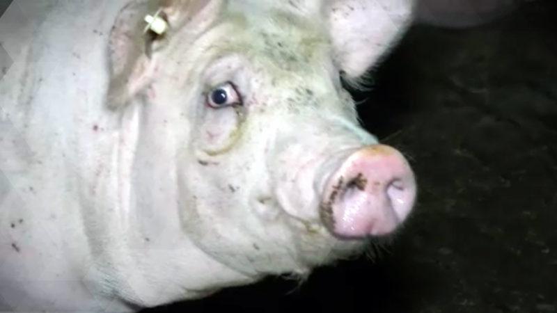 Tierschützer blockieren Schweinezucht-Betrieb (Foto: SAT.1 NRW)