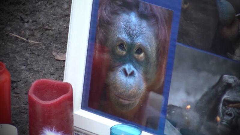 Gorilla mit mehreren Schüssen getötet (Foto: SAT.1 NRW)