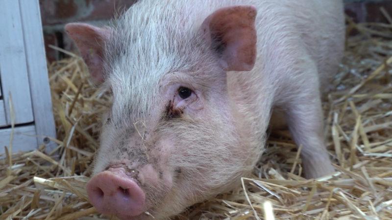 Schweinchen Porky hat sich gerettet (Foto: SAT.1 NRW)