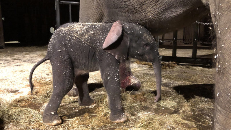 Elefant im Wuppertaler Zoo geboren (Foto: SAT.1 NRW)
