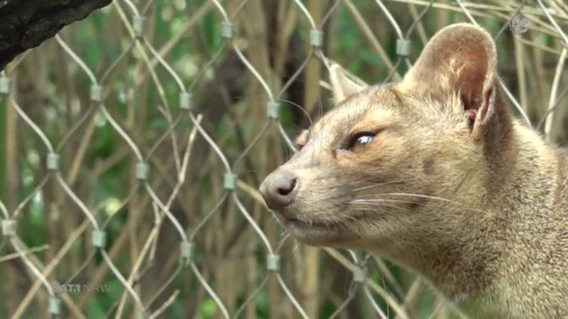 Fossa-Nachwuchs im Zoo Duisburg (Foto: SAT.1 NRW)