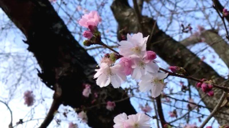 Die Kirschblüte in Bonn (Foto: SAT.1 NRW)
