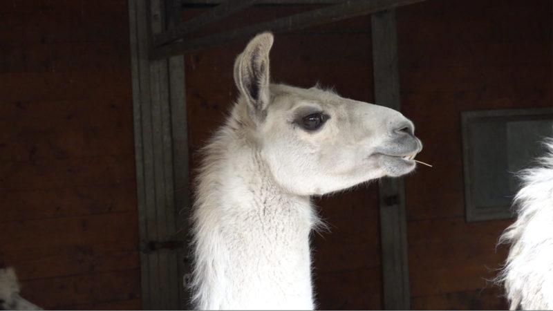 Skypen mit Lamas (Foto: SAT.1 NRW)