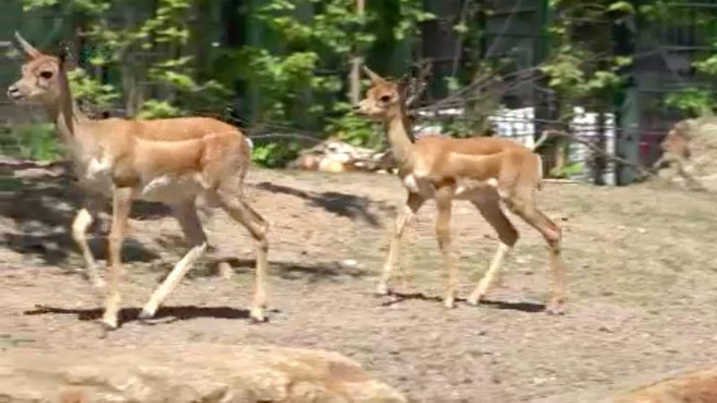 Antilopenbabies in Kölner Zoo geboren (Foto: SAT.1 NRW)