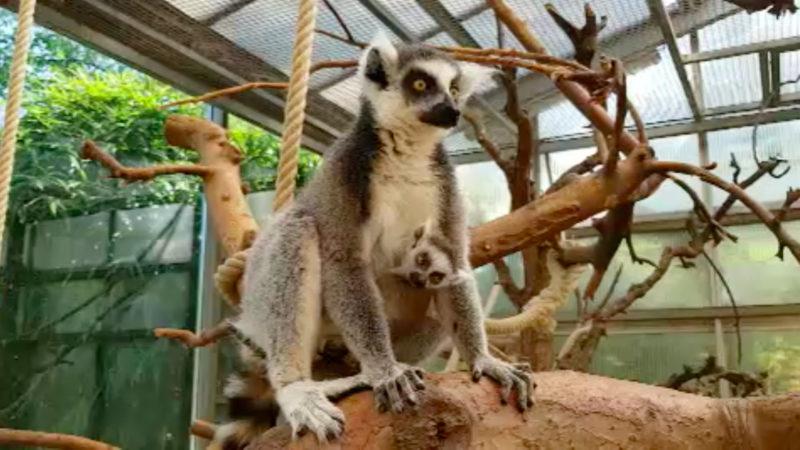 Lemurenbaby im Duisburger Zoo geboren (Foto: SAT.1 NRW)