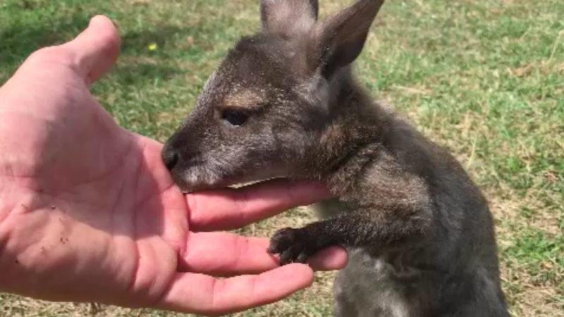 Familie adoptiert Känguru (Foto: SAT.1 NRW)