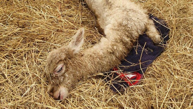 Alpaka misshandelt (Foto: SAT.1 NRW)