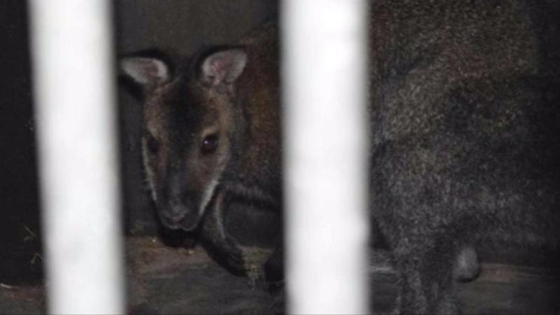 Känguru Boomer wieder ausgebüchst (Foto: SAT.1 NRW)