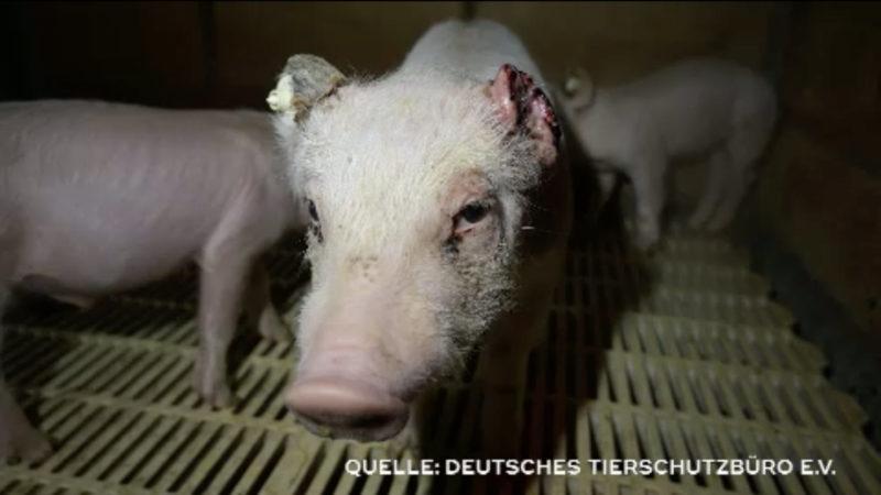 Tierschützer kritisieren Zustände in Schweinemast (Foto: SAT.1 NRW)