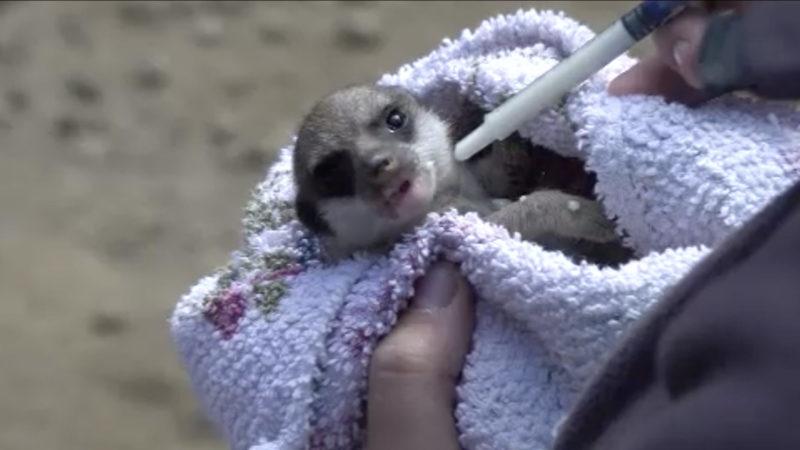 Handaufzucht von Erdmännchen-Baby (Foto: SAT.1 NRW)