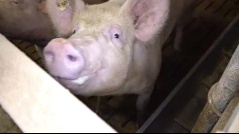 Schweinestau bei Landwirten (Foto: SAT.1 NRW)