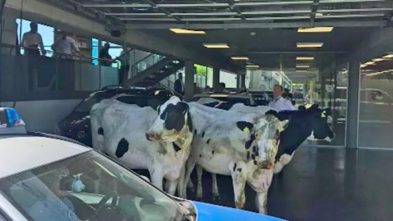 Kühe im Autohaus (Foto: SAT.1 NRW)