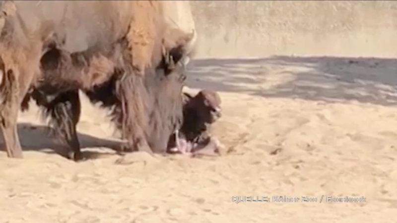 Bisonbaby im Kölner Zoo geboren (Foto: SAT.1 NRW)