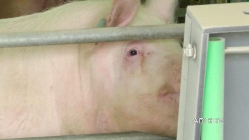 Sorge vor afrikanischer Schweinepest in NRW (Foto: SAT.1 NRW)