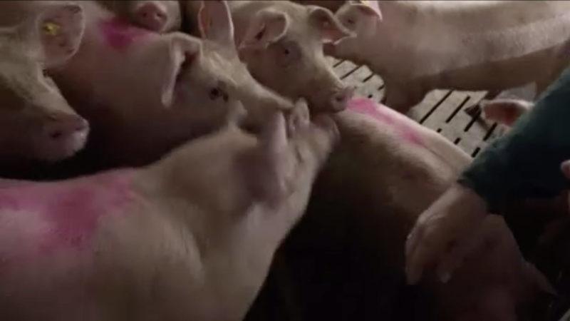 Schweine-Stau bei Bauern (Foto: SAT.1 NRW)