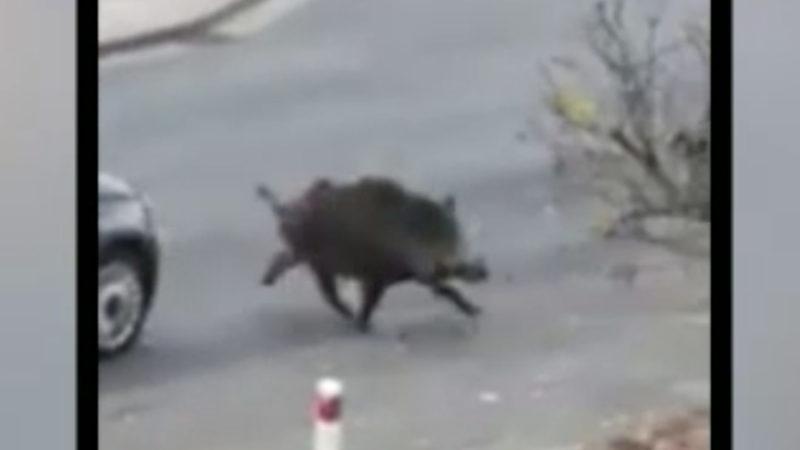 Wildschwein randaliert im Kaufhaus (Foto: SAT.1 NRW)