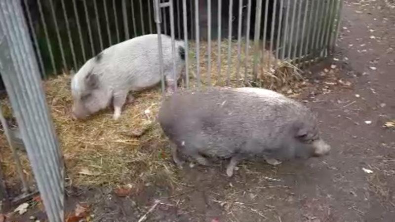 Therapieschweine suchen Job (Foto: SAT.1 NRW)